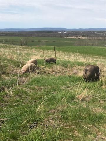 pasture raised pork on SImply Grazin' farms